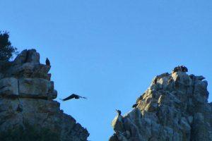 Buitres leonados en las paredes rocosas del Parque Nacional de Monfragüe