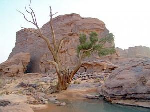 Ciprés del Sahara en el Parque Nacional Tassili n'Ajjer