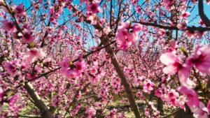Floración de Cieza, una de las más famosas de España