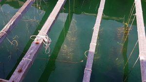 Ostras en una granja de perlas en la Bahía de Halong