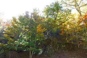 Haya de la Roca, uno de los ejemplares más emblemáticos del Hayedo de Montejo
