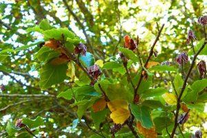 Detalle de las hojas de un haya