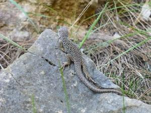 Lagarto ocelado, uno de los réptiles más comunes del Parque Natural del Alto Tajo