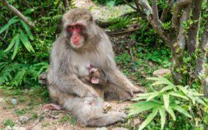 Macacos en el Parque de Iwatayama