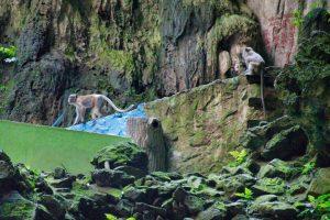 Macacos de cola larga en Batu Caves
