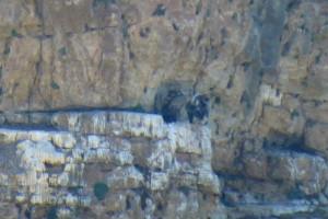 Nido de buitres leonados en el Parque Natural de las Hoces del Río Duratón