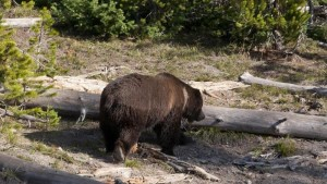 Oso grizzlie en los bosques del Parque Nacional de Yellowstone