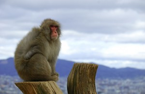 Macaco en el Parque de Iwatayama en Kioto