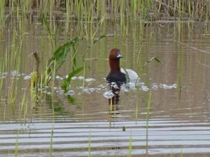 Pato nadando en las tranquilas aguas de las Tablas de Daimiel