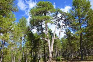Pino Candelabro, uno de los árboles centenarios de las Torcas de Palancares