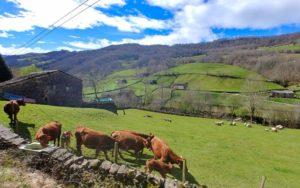 Vacas pastando en los verdes prados de Vega de Pas
