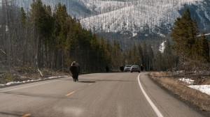 Bisonte paseando por la carreteras del Parque Nacional de Yellowstone