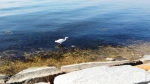 Garceta común, una de las aves residentes de las Salinas de San Pedro del Pinatar